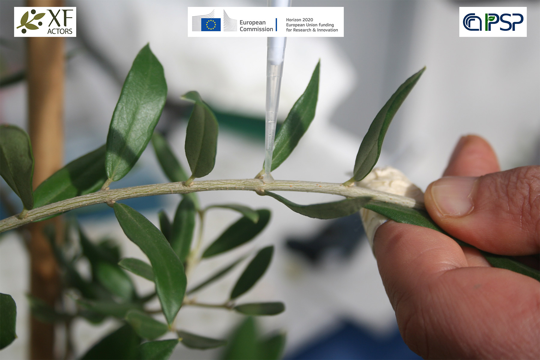 01 - Inoculation Xf in olives