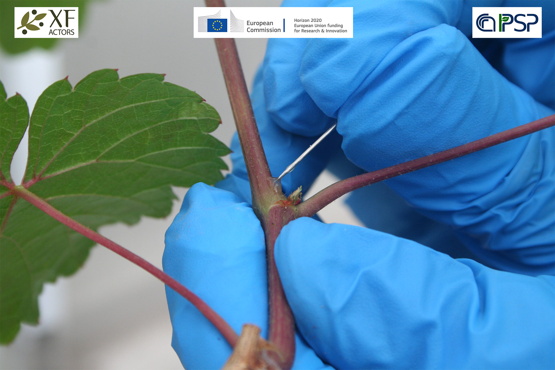 01 - inoculations Xf in grapes