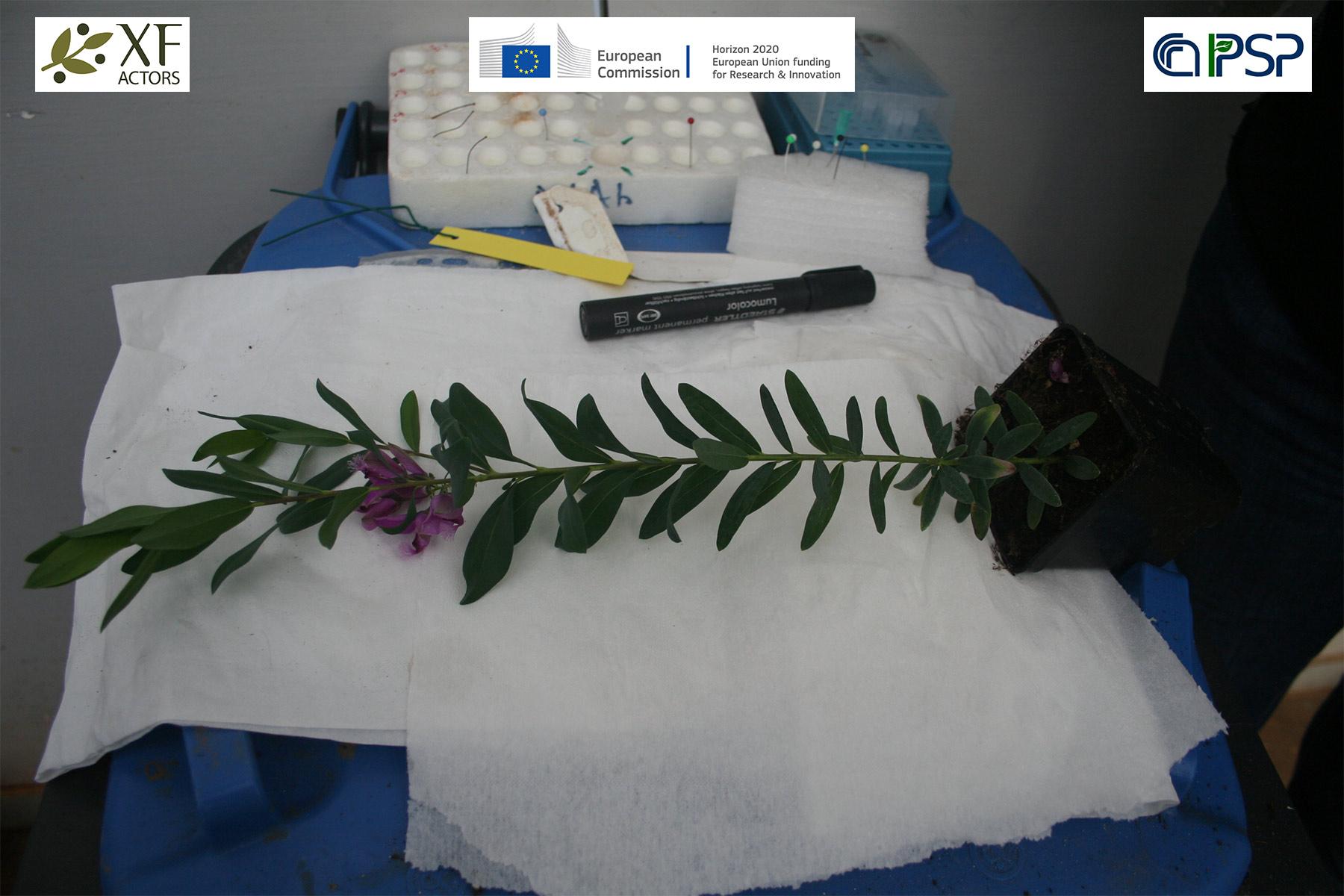 02 - inoculation Xf in Polygala myrtifolia