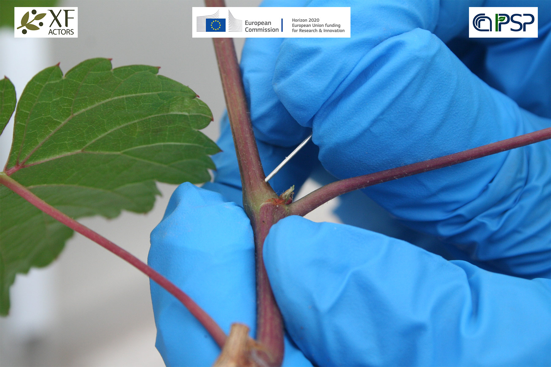 02 - inoculations Xf in grapes