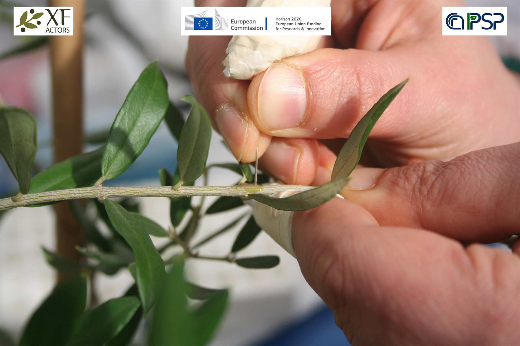 03 - Inoculation Xf in olives
