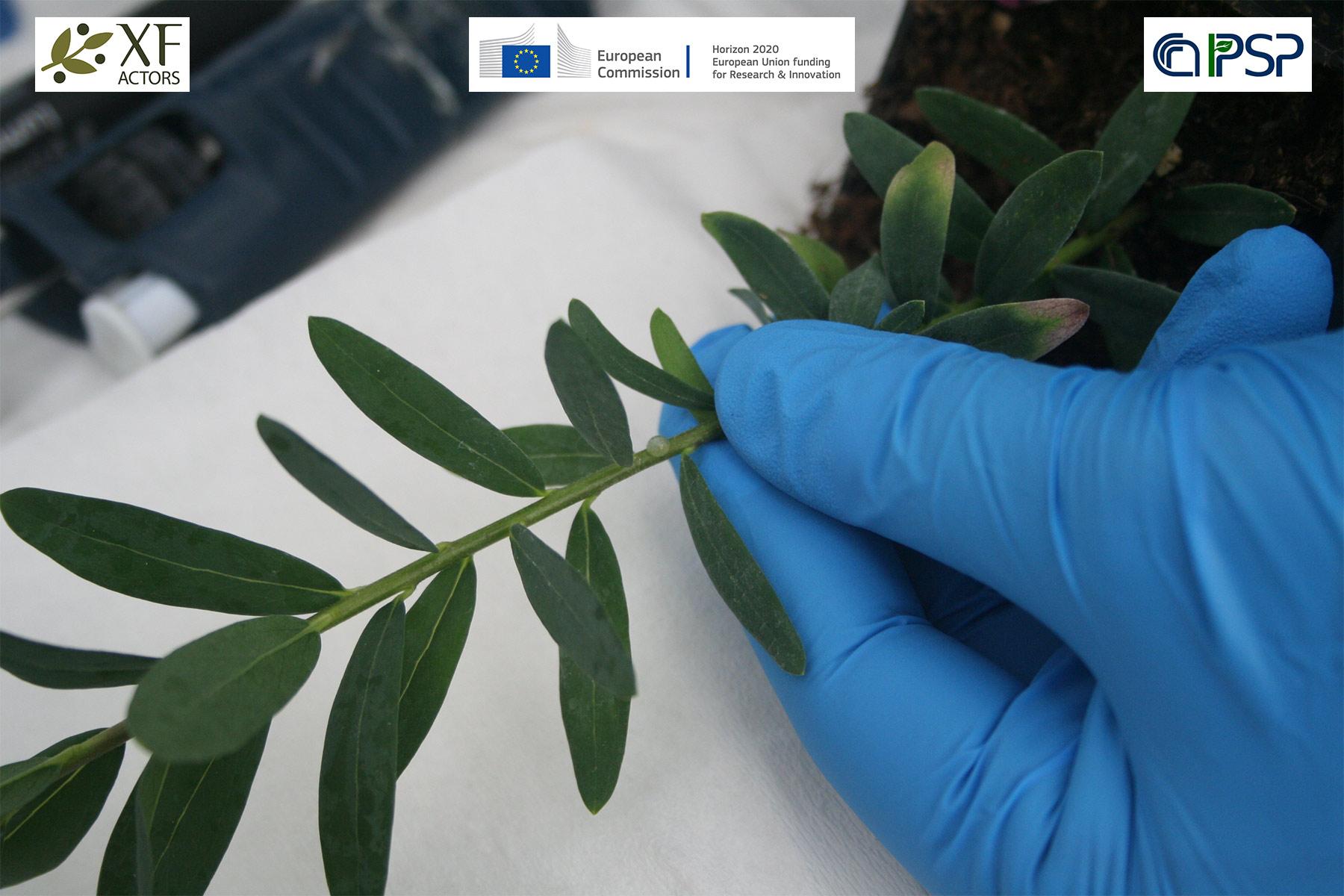 03 - inoculation Xf in Polygala myrtifolia