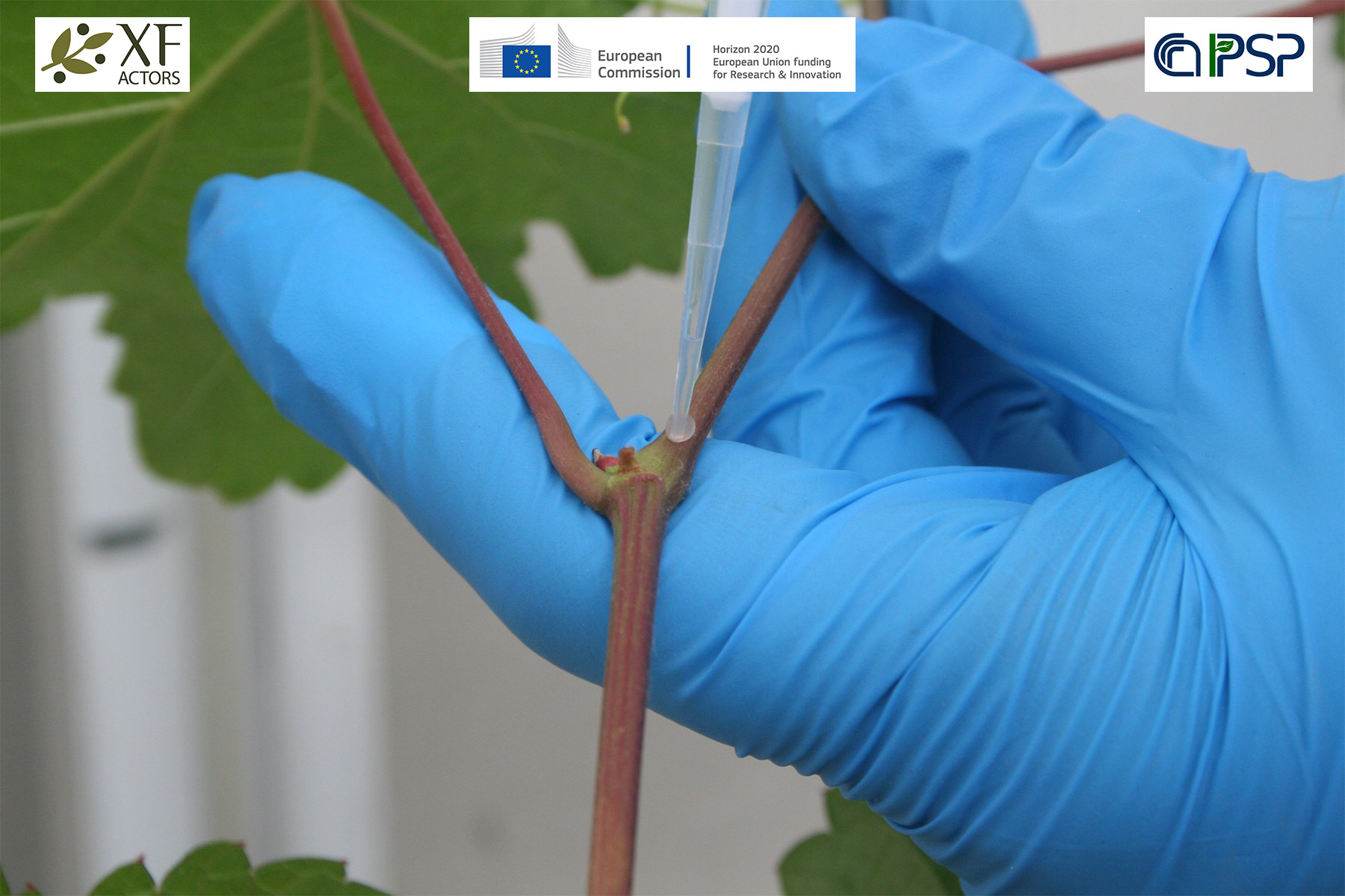 03 - inoculations Xf in grapes