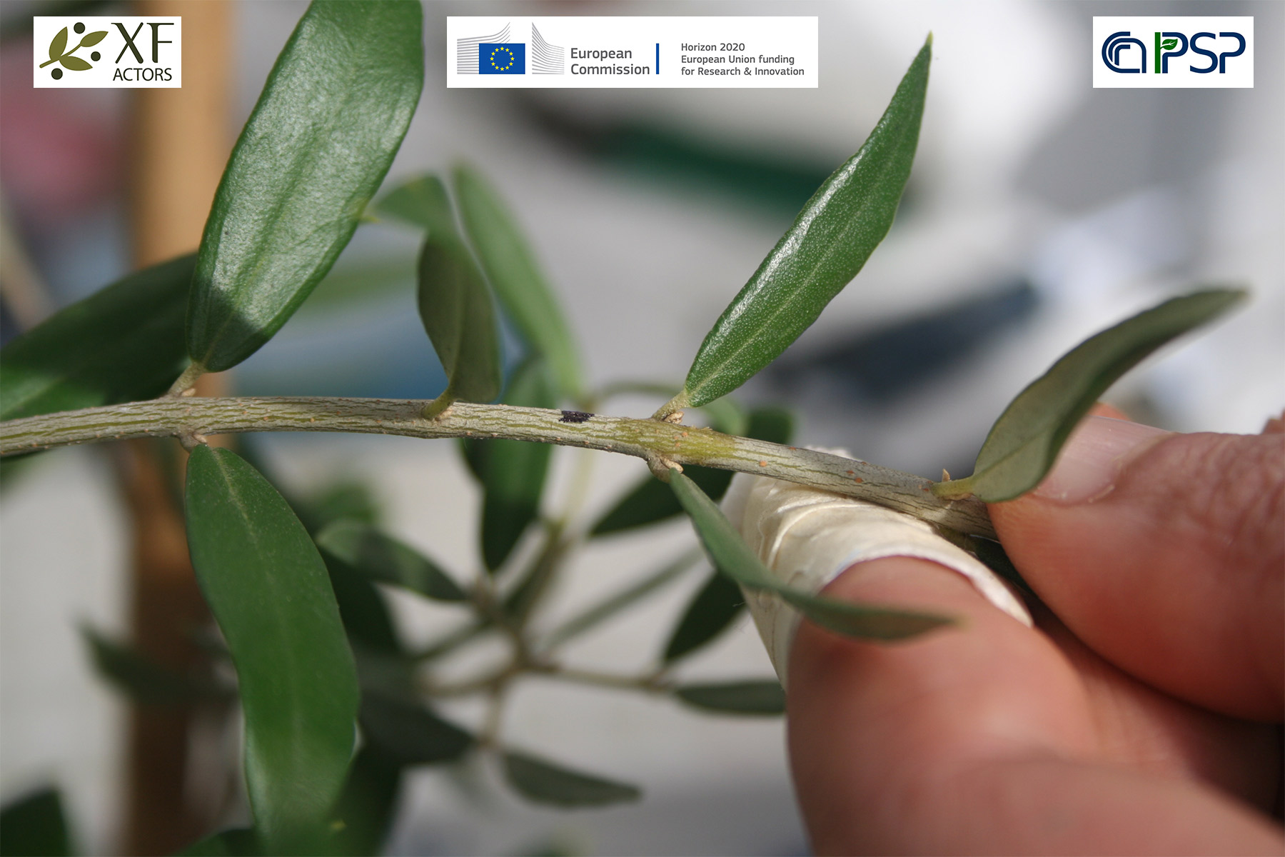 04 - Inoculation Xf in olives