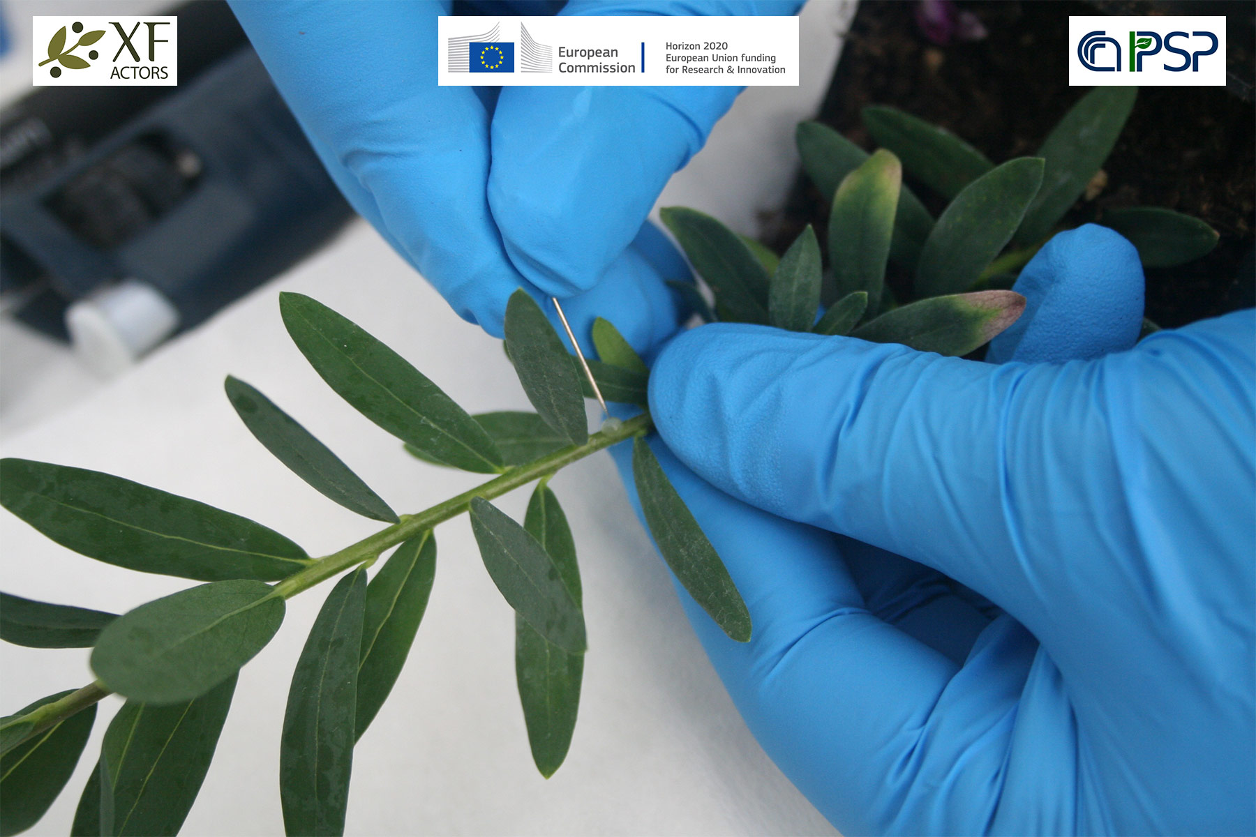 04 - inoculation Xf in Polygala myrtifolia