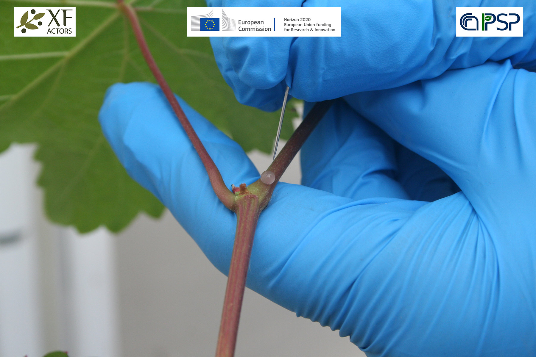 04 - inoculations Xf in grapes