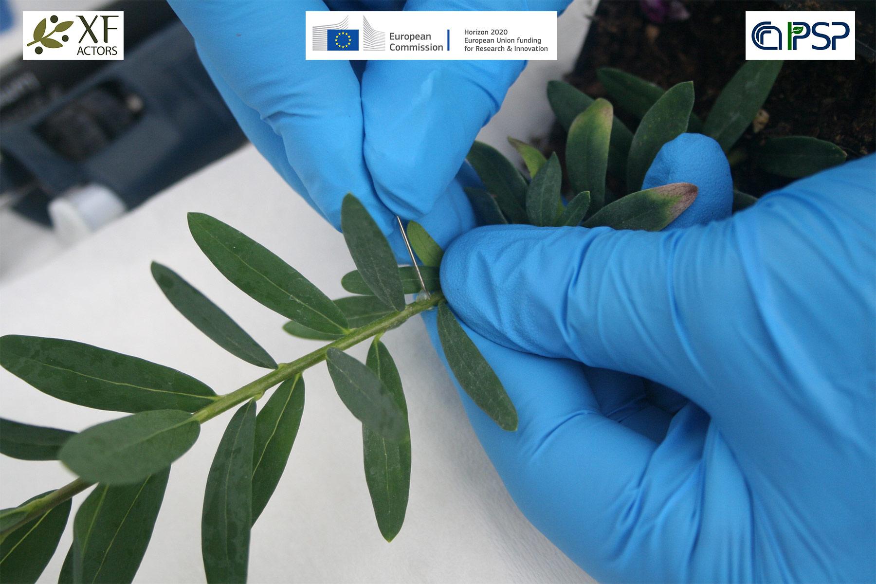 05 - inoculation Xf in Polygala myrtifolia
