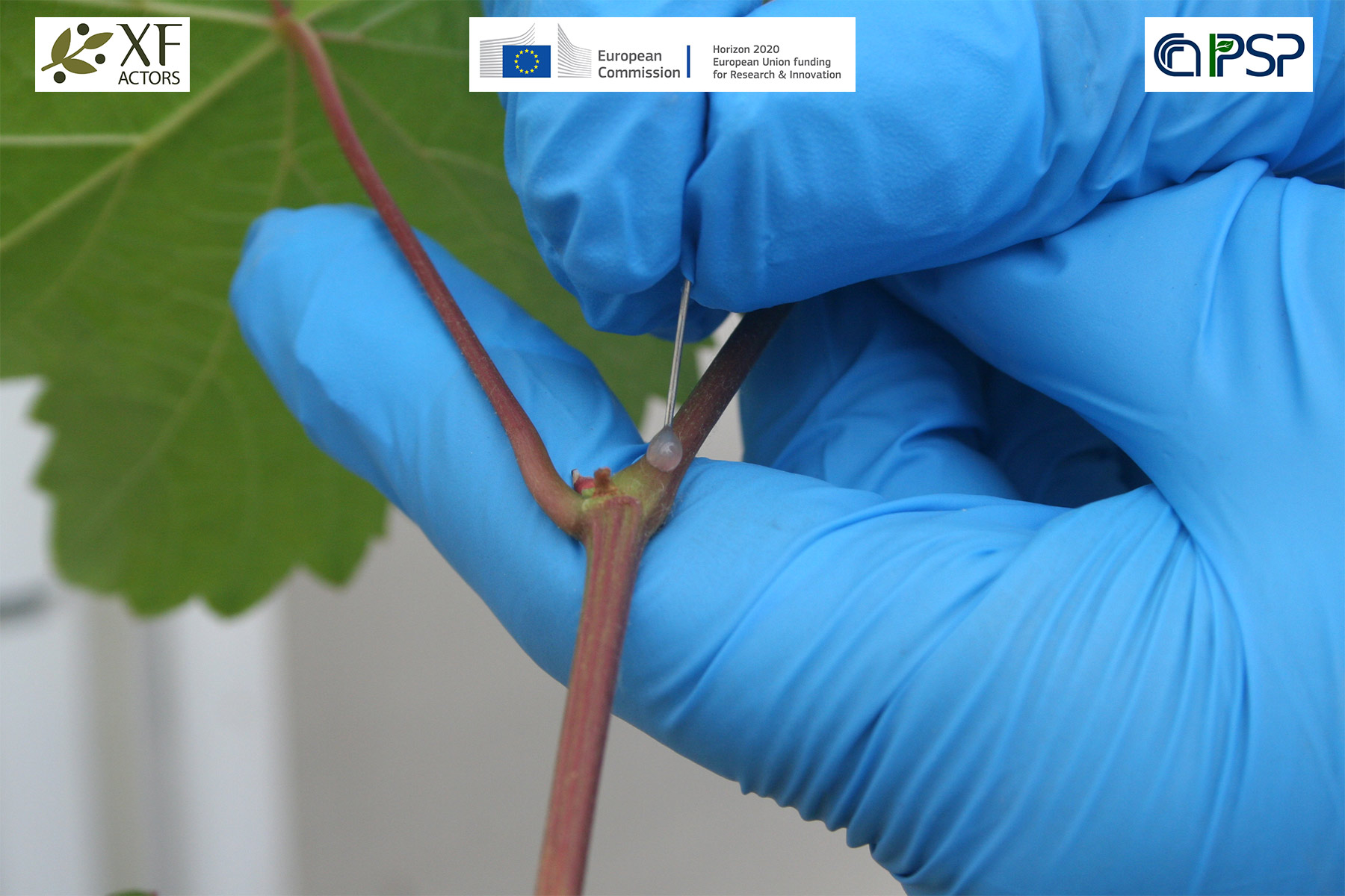 05 - inoculations Xf in grapes