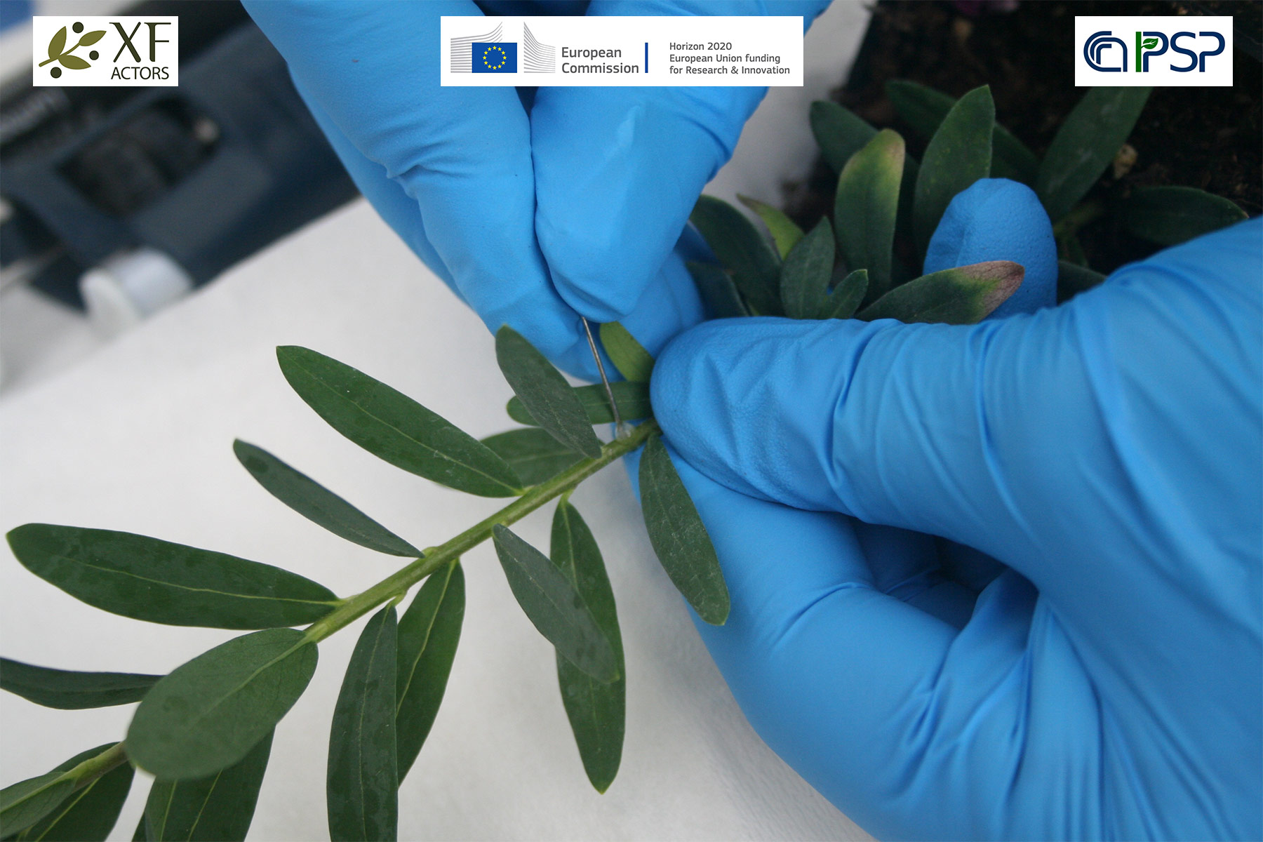 06 - inoculation Xf in Polygala myrtifolia