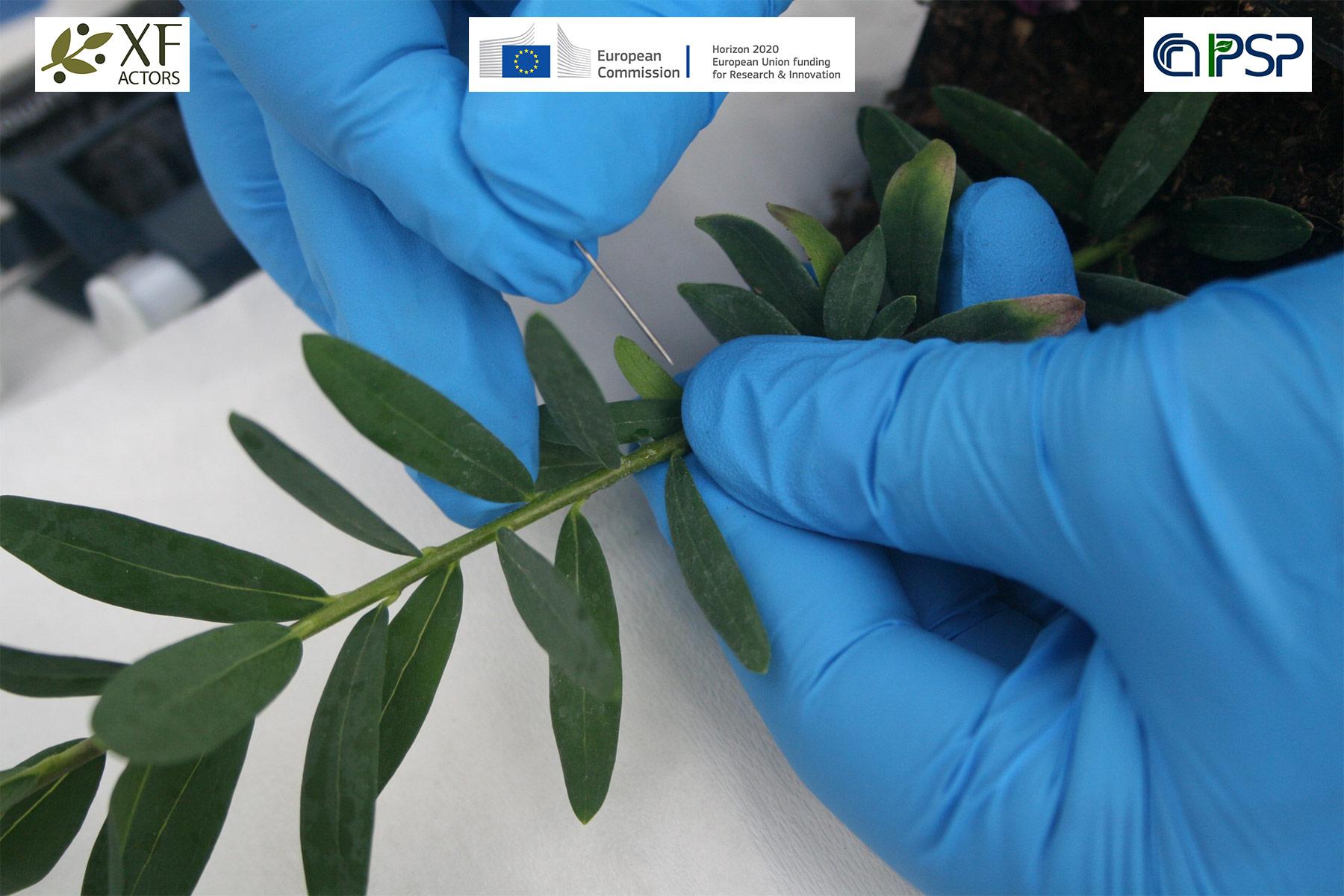 07 - inoculation Xf in Polygala myrtifolia