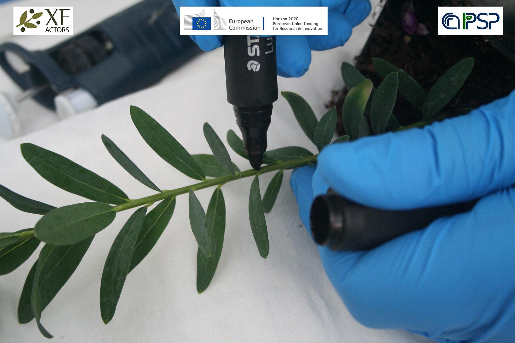 09 - inoculation Xf in Polygala myrtifolia