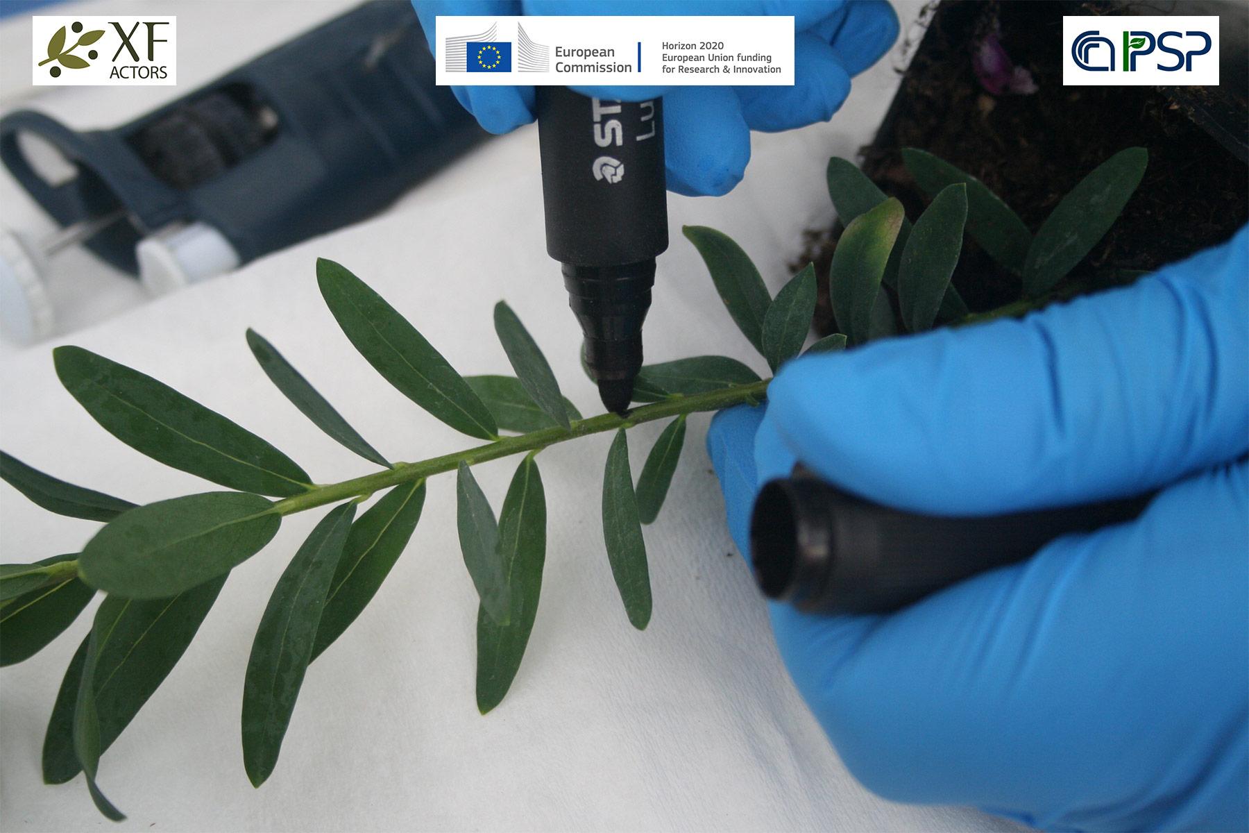 10 - inoculation Xf in Polygala myrtifolia