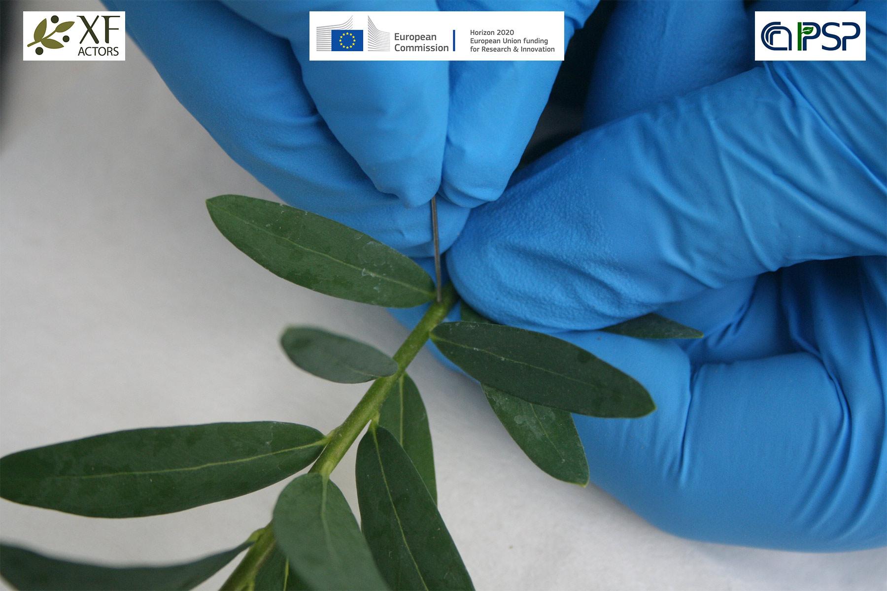 13 - inoculation Xf in Polygala myrtifolia
