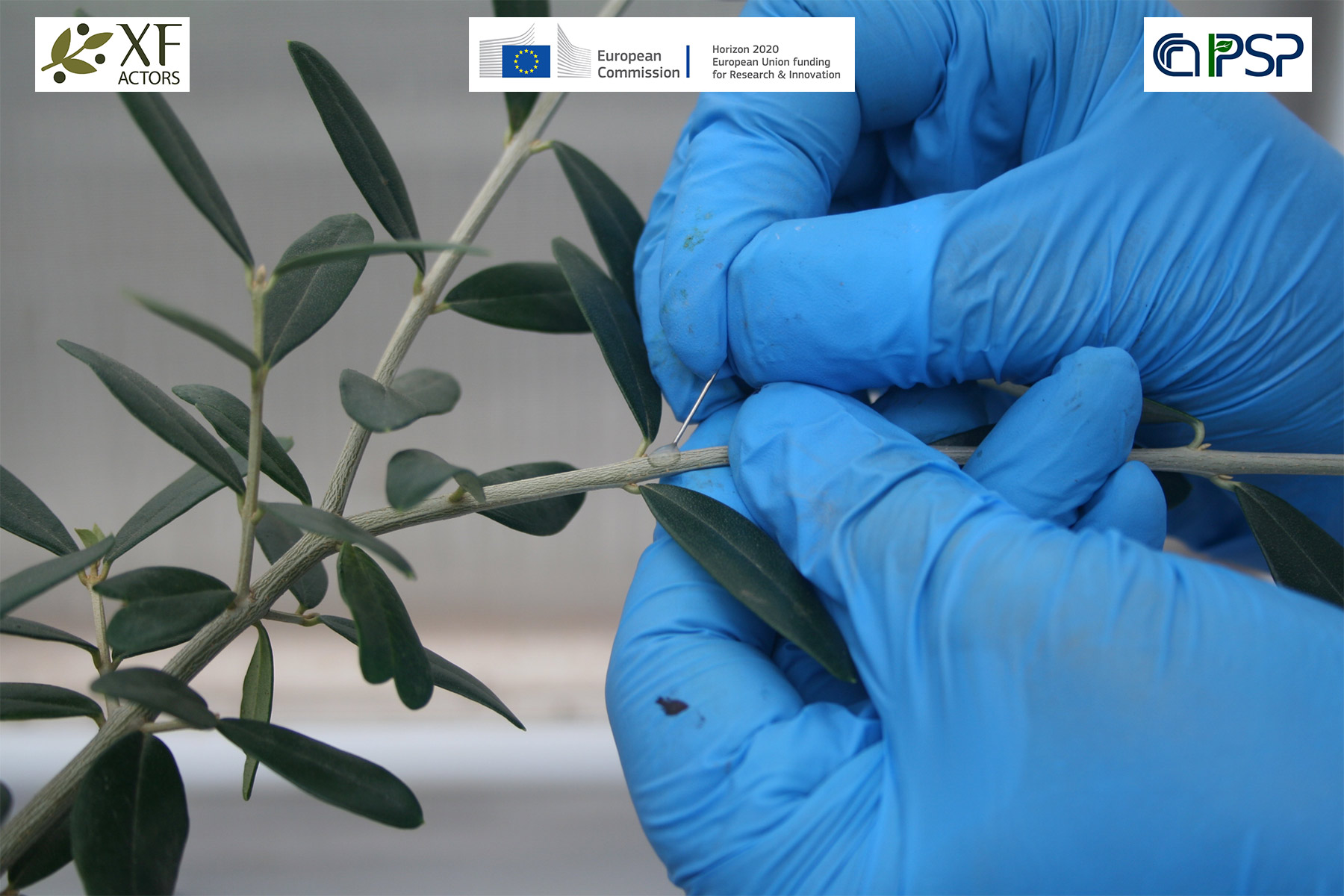 14 - Inoculation Xf in olives