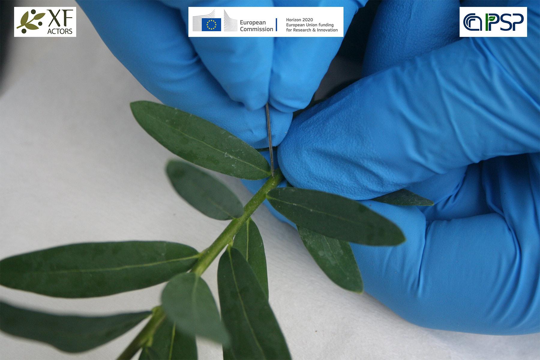 14 - inoculation Xf in Polygala myrtifolia