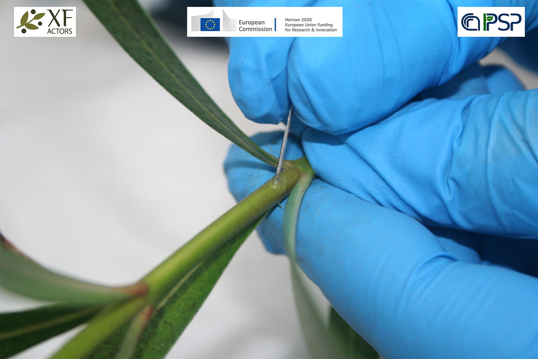 14 - inoculation Xf in oleander