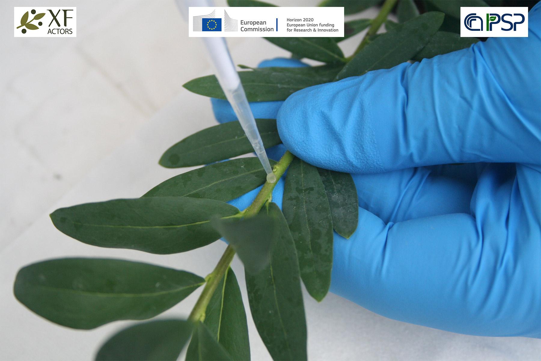 15 - inoculation Xf in Polygala myrtifolia