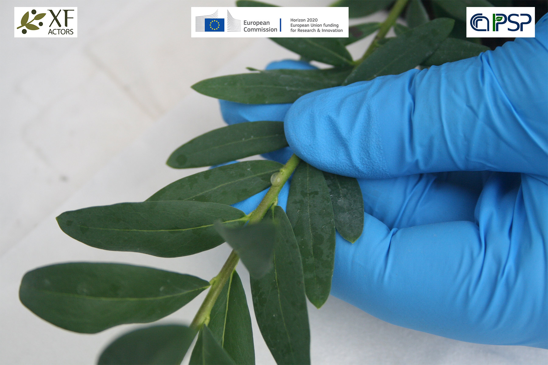 16 - inoculation Xf in Polygala myrtifolia
