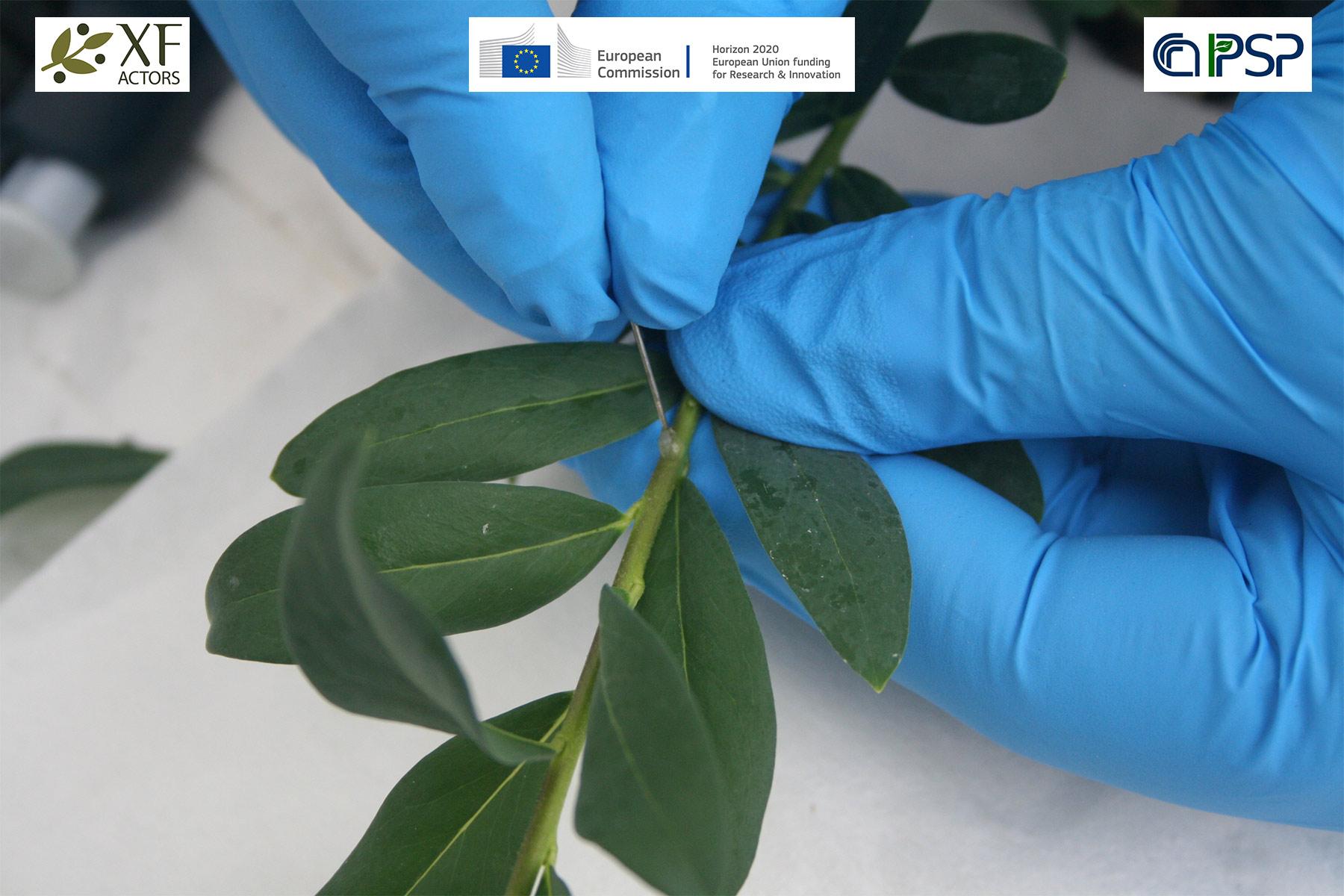 18 - inoculation Xf in Polygala myrtifolia