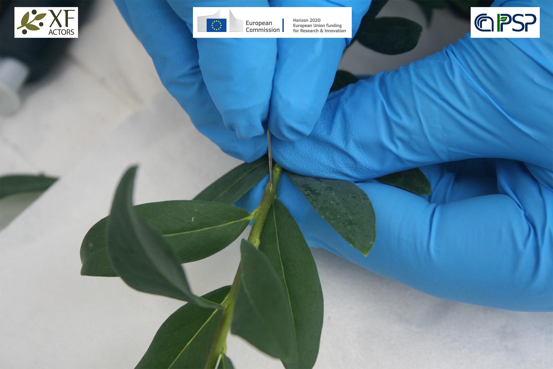 20 - inoculation Xf in Polygala myrtifolia