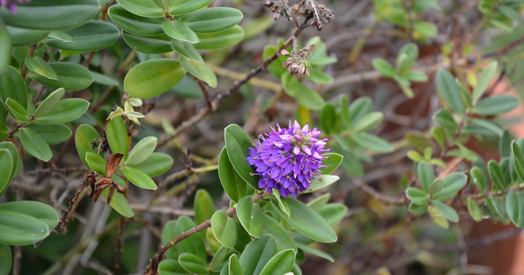 Hebe-sp.-Scrophulariaceae