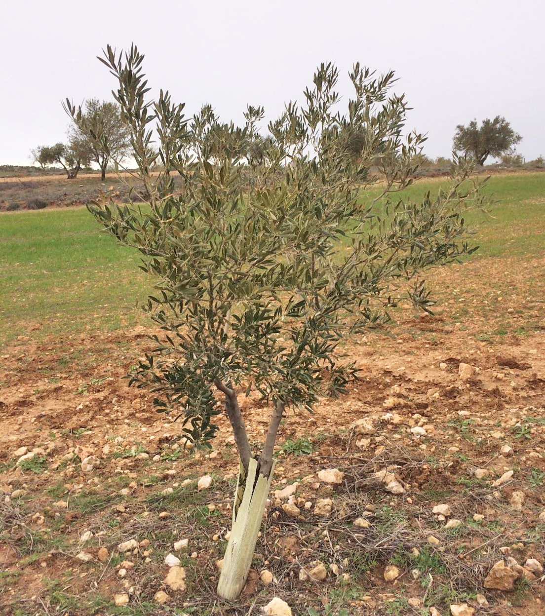 The infected tree detected in the municipality of Villarejo. Picture by Telemadrid