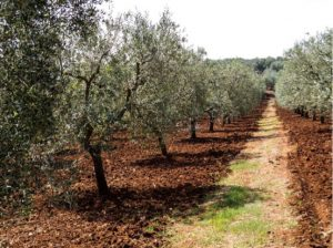 (Olive grove in the buffer zone of Apulia, Italy Picture by Ministère de l'Agriculture et de l'Alimentation)