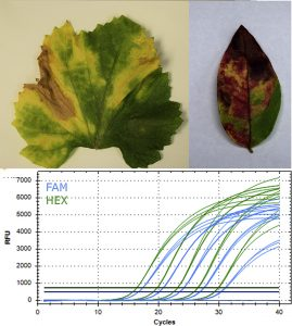 Novel amplification targets for rapid detection and differentiation of Xylella fastidiosa subspecies