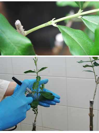 Testing antimicrobial peptide against Xylella