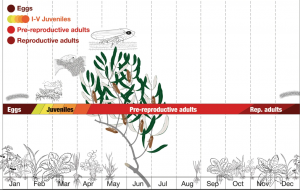 Vector life-cycle in relation to host plants phenology in olive orchard.