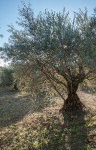 Xylella pauca found on olive in France