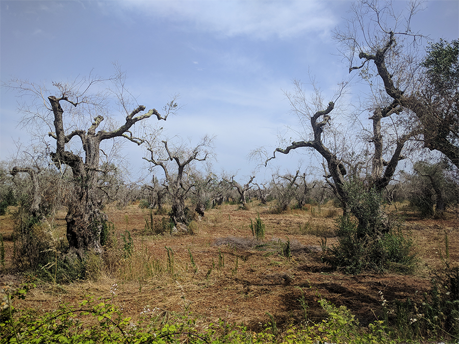 The fight to save Europe's olive trees from disease