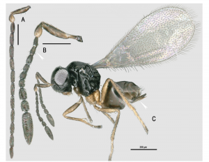 Ooctonus vulgatus (Hymenoptera, Mymaridae), a potential biocontrol agent to reduce populations of Philaenus spumarius (Hemiptera, Aphrophoridae) the main vector of Xylella fastidiosa in Europe