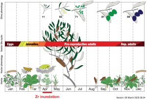 A biological control model to manage the vector and the infection of Xylella fastidiosa on olive trees