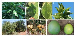 Citrus Variegated Chlorosis: an Overview of 30 Years of Research and Disease Management