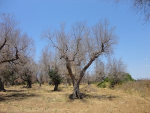 Xylella fastidiosa in Lecce province - Apulia - Interview by NPR