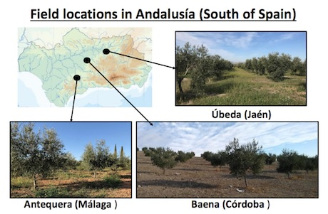Soil microbial communities from olive cultivars are shaped by seasonality and geographical scales